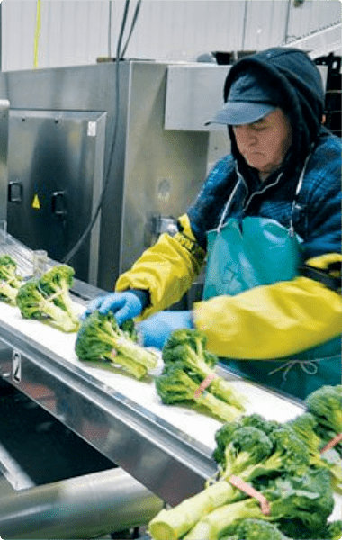 Applocation of Clo2 in vegetable processing